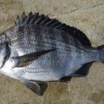 クロダイ最強の釣り方がウキフカセダンゴ釣りの理由とは