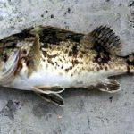 カサゴ・ソイ・アコウの基礎知識とルアーで釣れるポイント