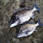 チヌ釣りでのいろいろな釣り方のチヌ用エサのアラカルト